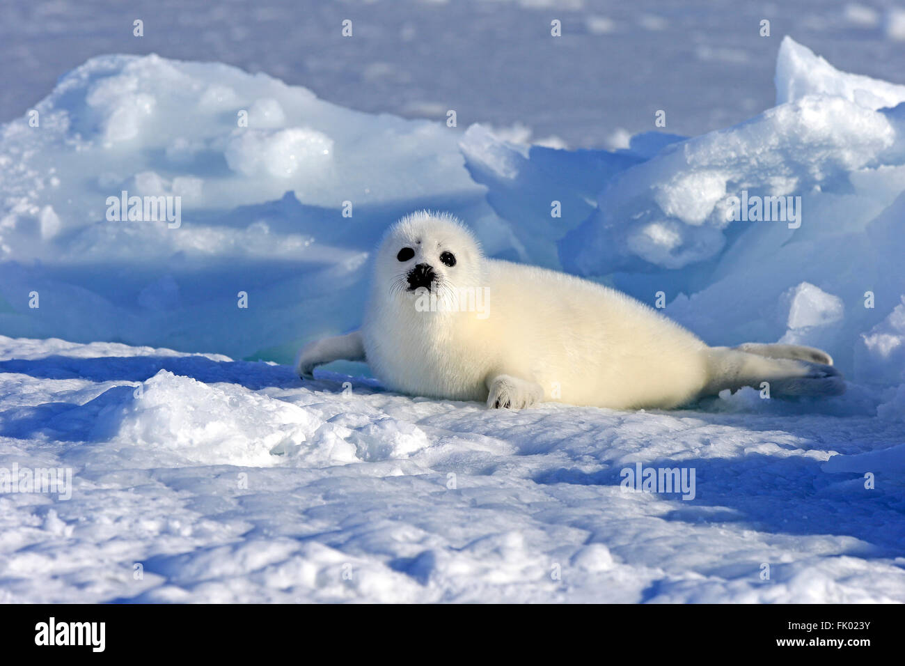 Newborn Harp Seal Gulf Of The St Lawrence River Canada Natal Coat ...