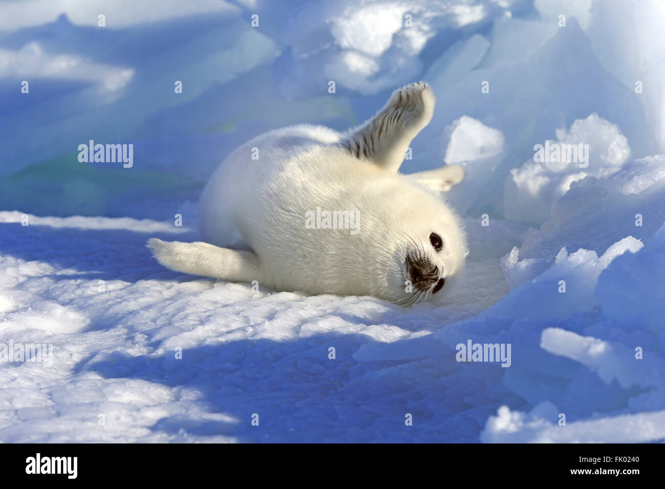 Harp Seal, female, on packice, Magdalen Islands, Gulf of St Stock ...