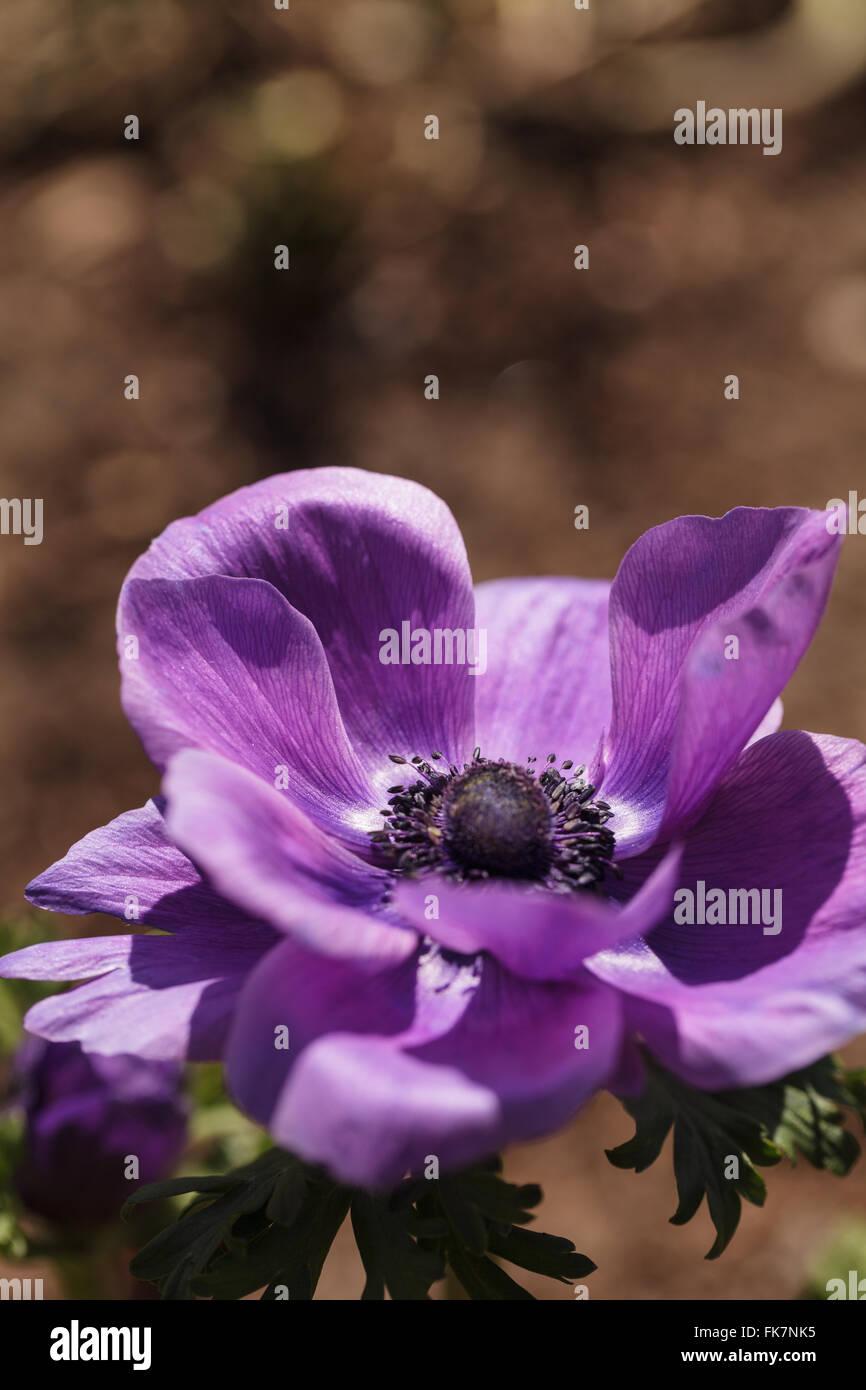 deep purple flower u0027mona lisa wine u0027 anemone coronaria blooms in a