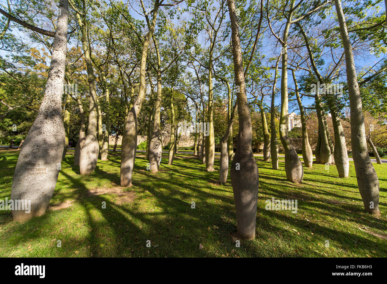 bottle trees ceiba speciosa palo borin jardines turia gardens park valencia