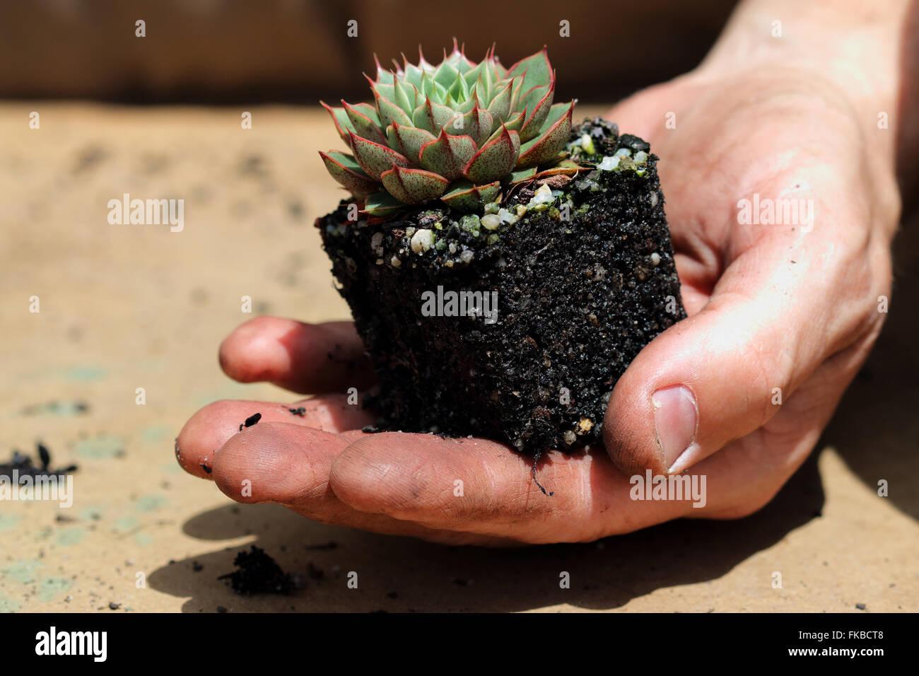 echeveria shamrock succulent stock photo royalty free image