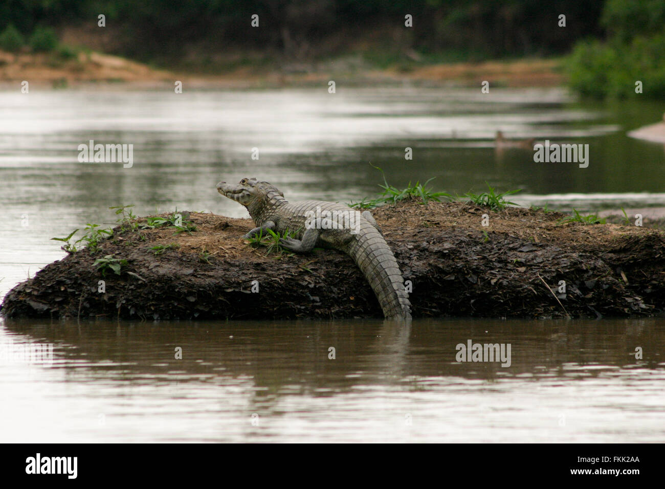 FKK - Brazil A lone Caiman resting on the banks of the river in the Pantanal, Brazil
