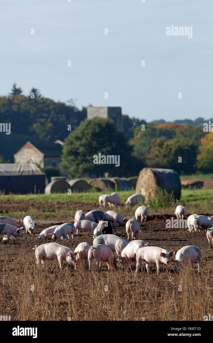 Pig Farm Domestic Animals Sus Scrofa Outdoor Free