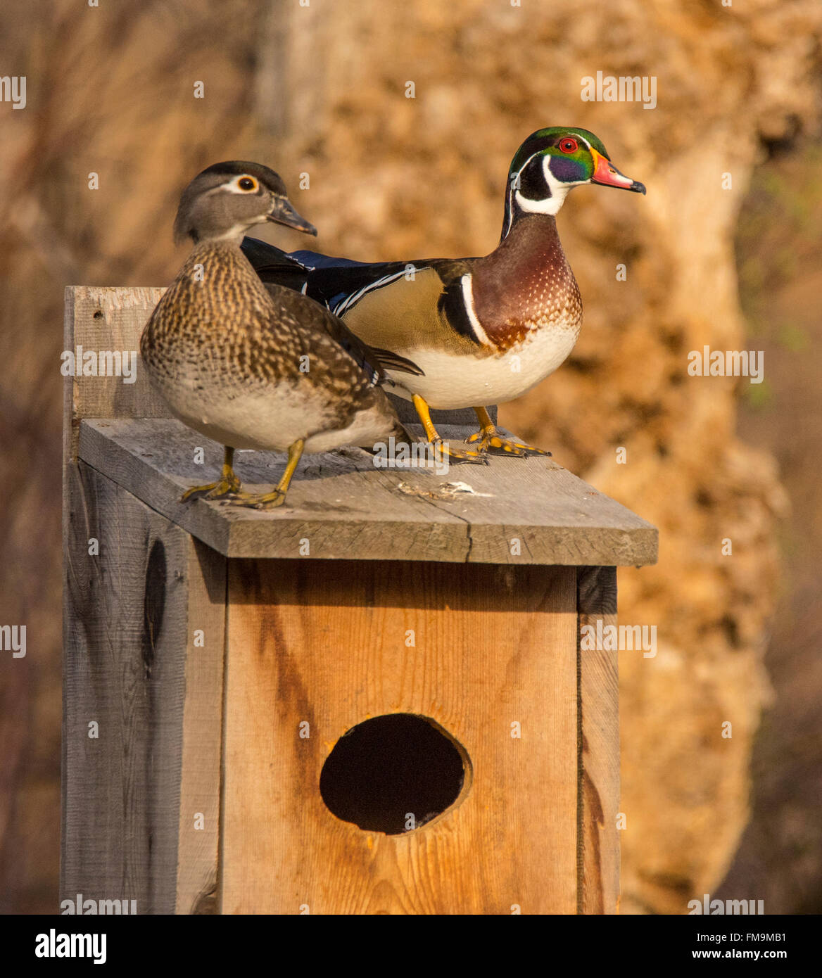 wildlife male amp female wood ducks perched on a wood duck