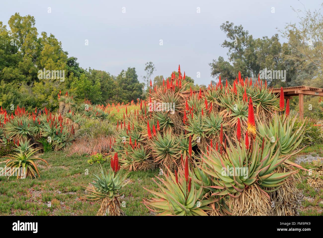 Aloe Blossom At Los Angeles County Arboretum U0026 Botanic Garden