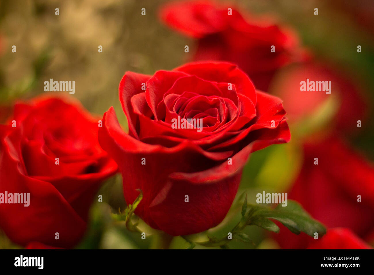 Bunch of red roses bouquet of flowers prepared for saint valentines bunch of red roses bouquet of flowers prepared for saint valentines day in florists store flower shop close up photo izmirmasajfo Images