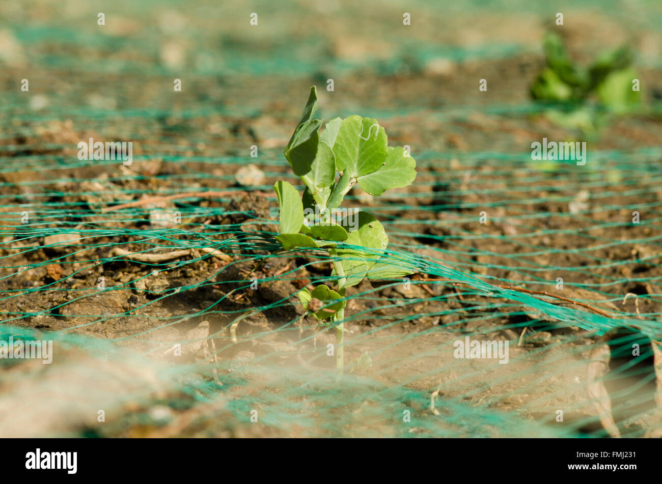 Young Pea Plant Pisum Sativum Sticking Out Of Anti bird Netting