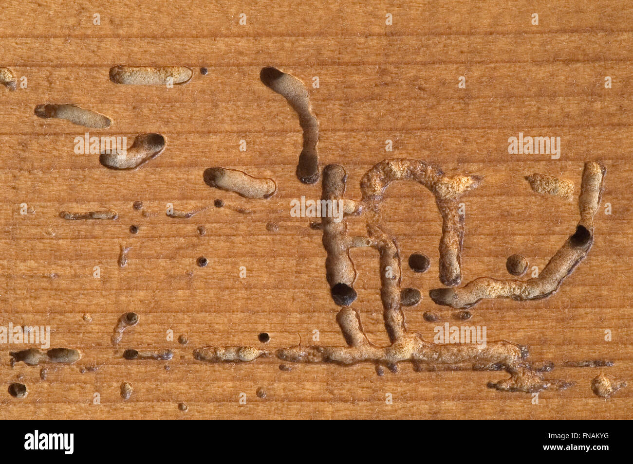 Larvae tunnels in wooden furniture made by deathwatch beetles   death watch  beetle  Xestobium rufovillosum. Larvae tunnels in wooden furniture made by deathwatch beetles