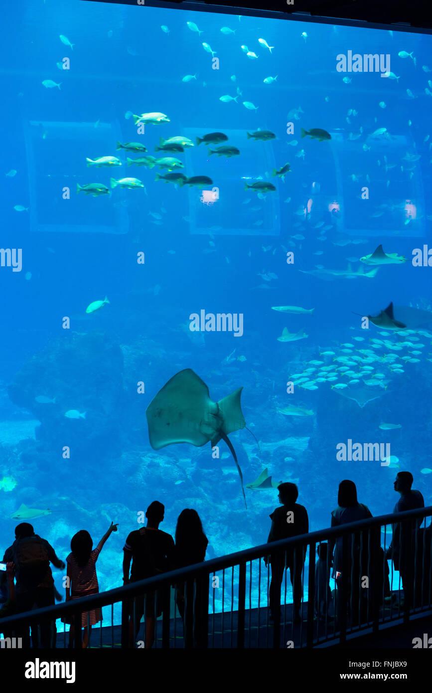 Fish aquarium in sentosa - Giant Stingray At Panoramic Panel Of Sentosa Aquarium Singapore