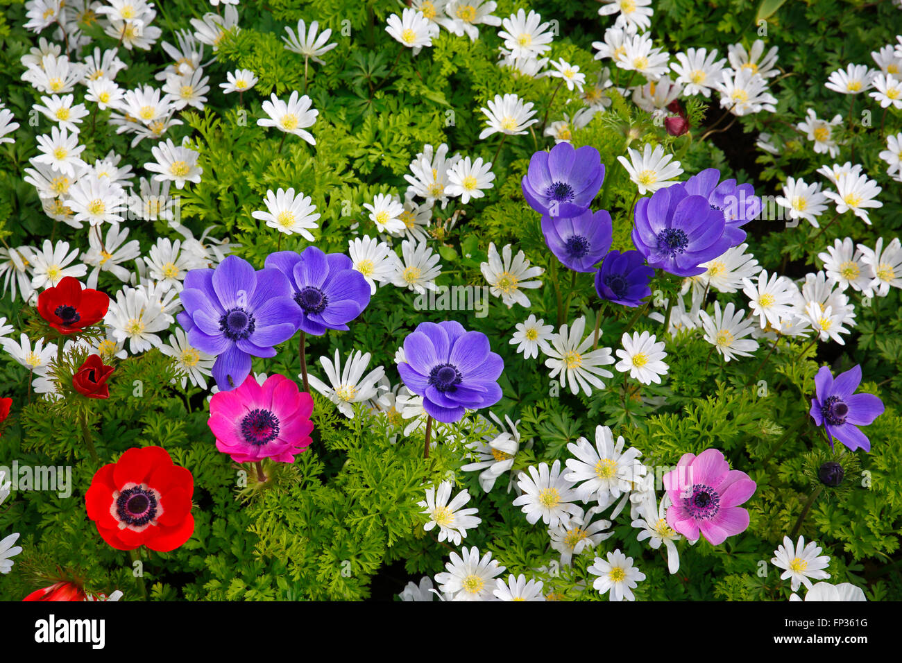 different anemones in a spring flower bed poppy anemone anemone stock photo royalty free. Black Bedroom Furniture Sets. Home Design Ideas