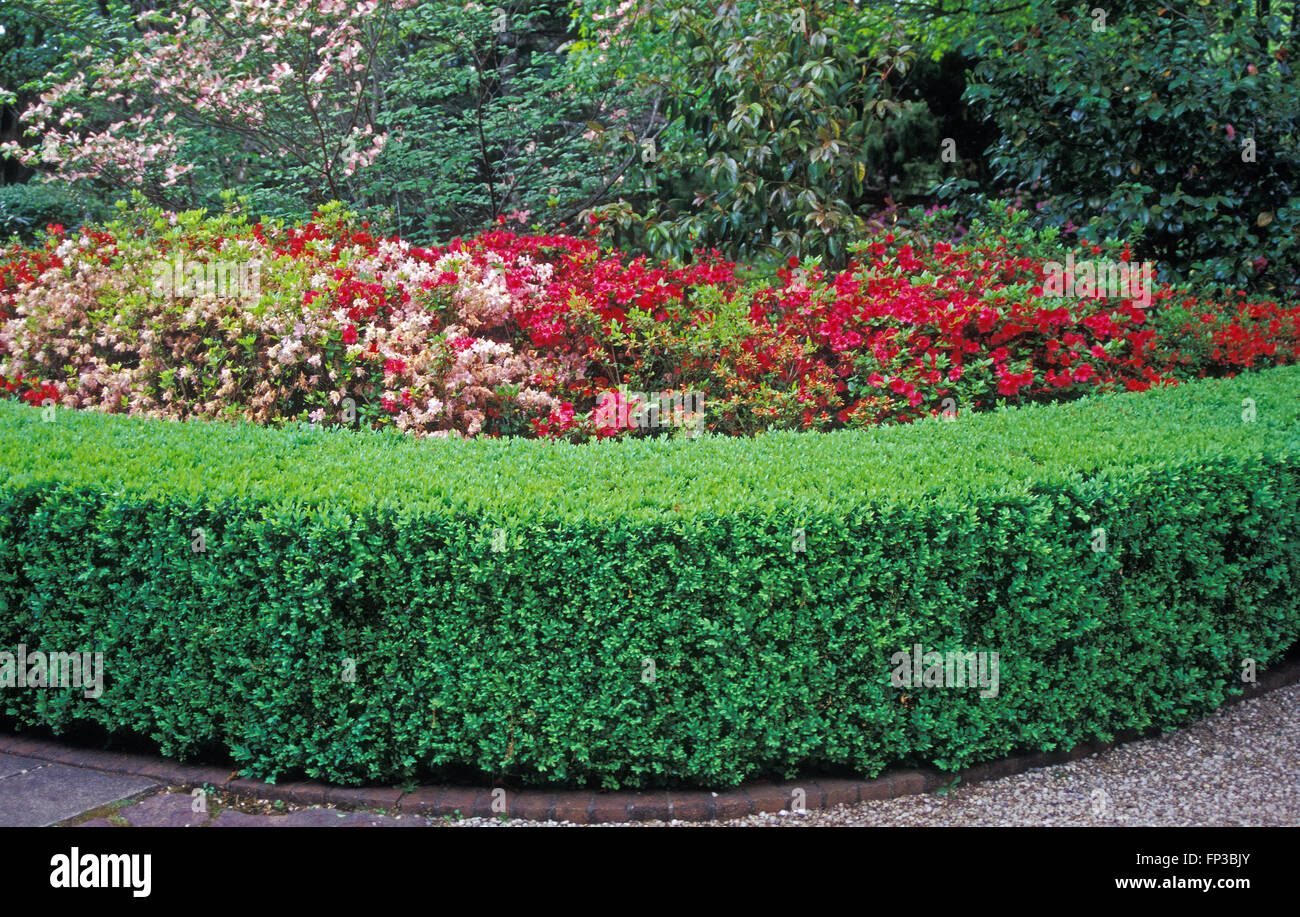 Neatly Trimmed Garden Hedge Edging Garden Path Azalea Bushes In