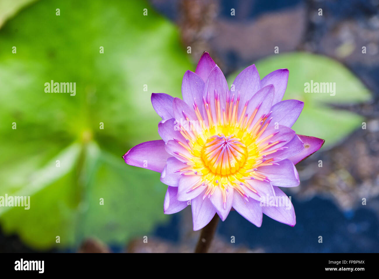 water lily extract nymphaea cerula a potential herbicide essay