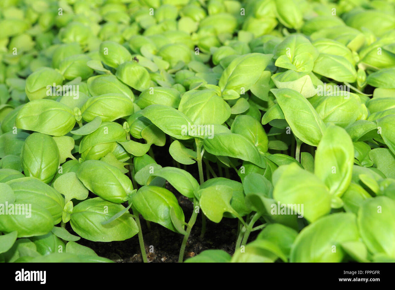 The greenhouse pr - Traditional Ligurian Basil Growing In The Greenhouse Pr Village Genoa Ligury Italy Europe