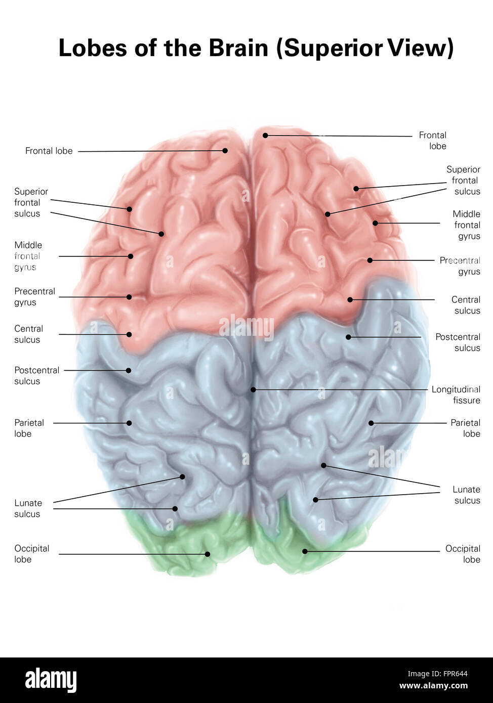 Superior view of human brain with colored lobes and labels stock superior view of human brain with colored lobes and labels ccuart Image collections