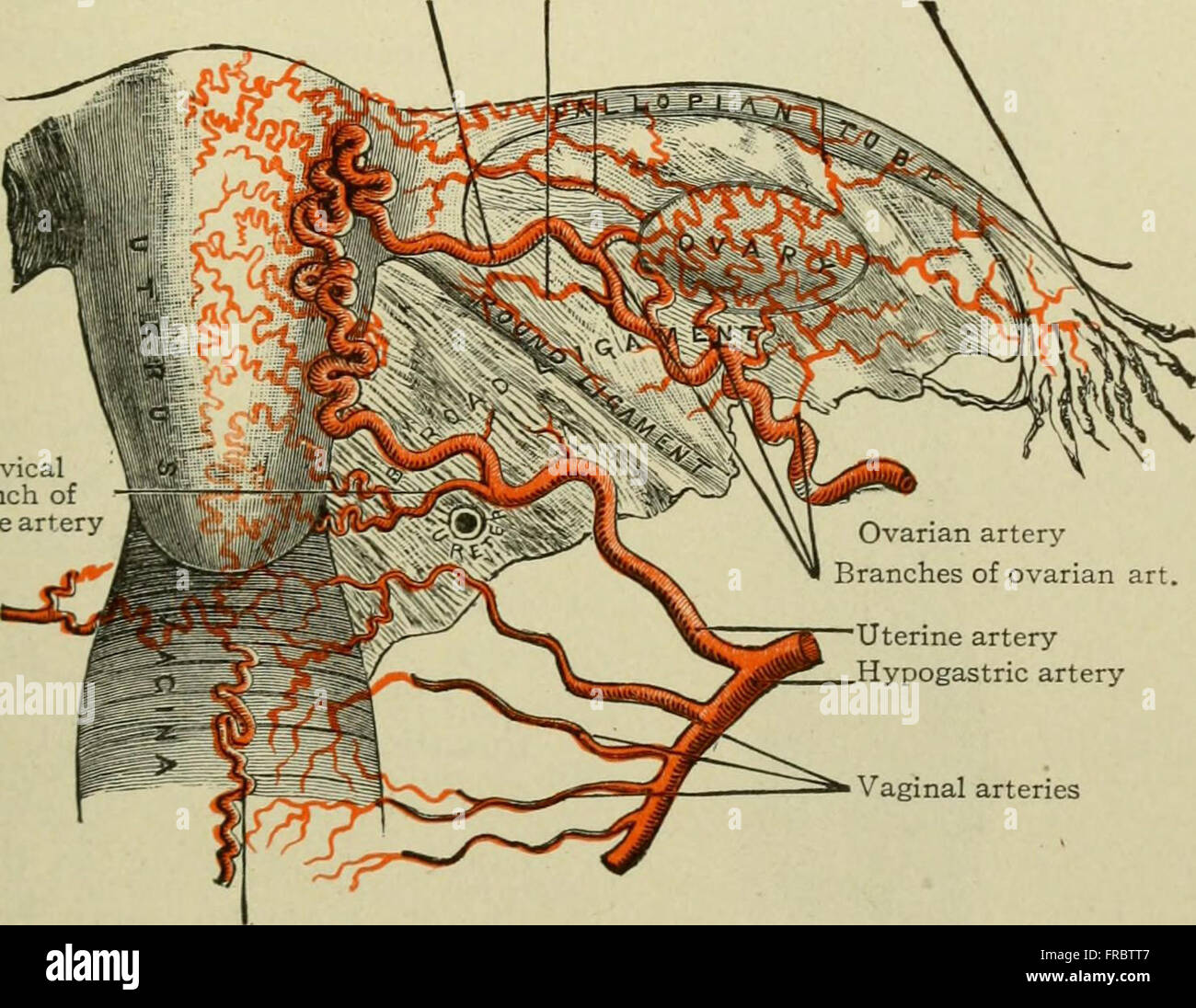 Text-book of anatomy and physiology for nurses (1913 Stock Photo ...