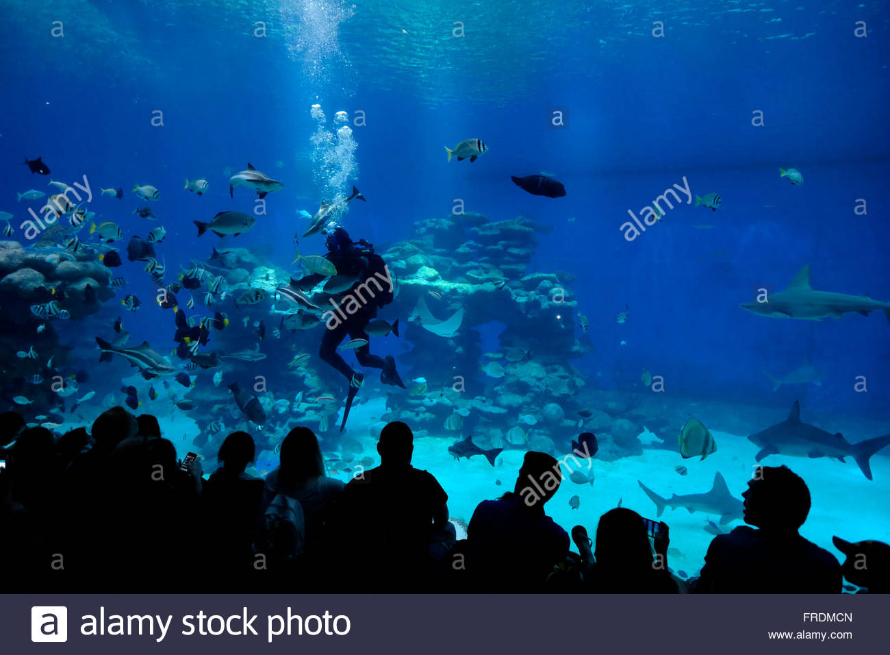 ors watching a diver feeding the sharks in the shark pool of stock photo ors watching a diver feeding the sharks in the shark pool of coral world underwater observatory aquarium located in the city of eilat at
