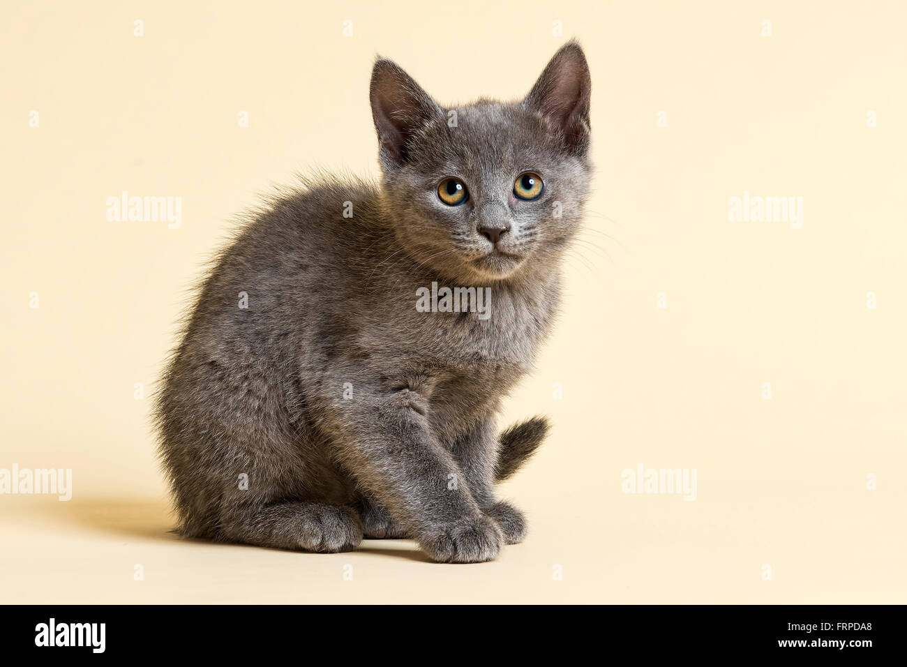 Purebred Cat Russian Blue Kitten 9 weeks Stock Royalty