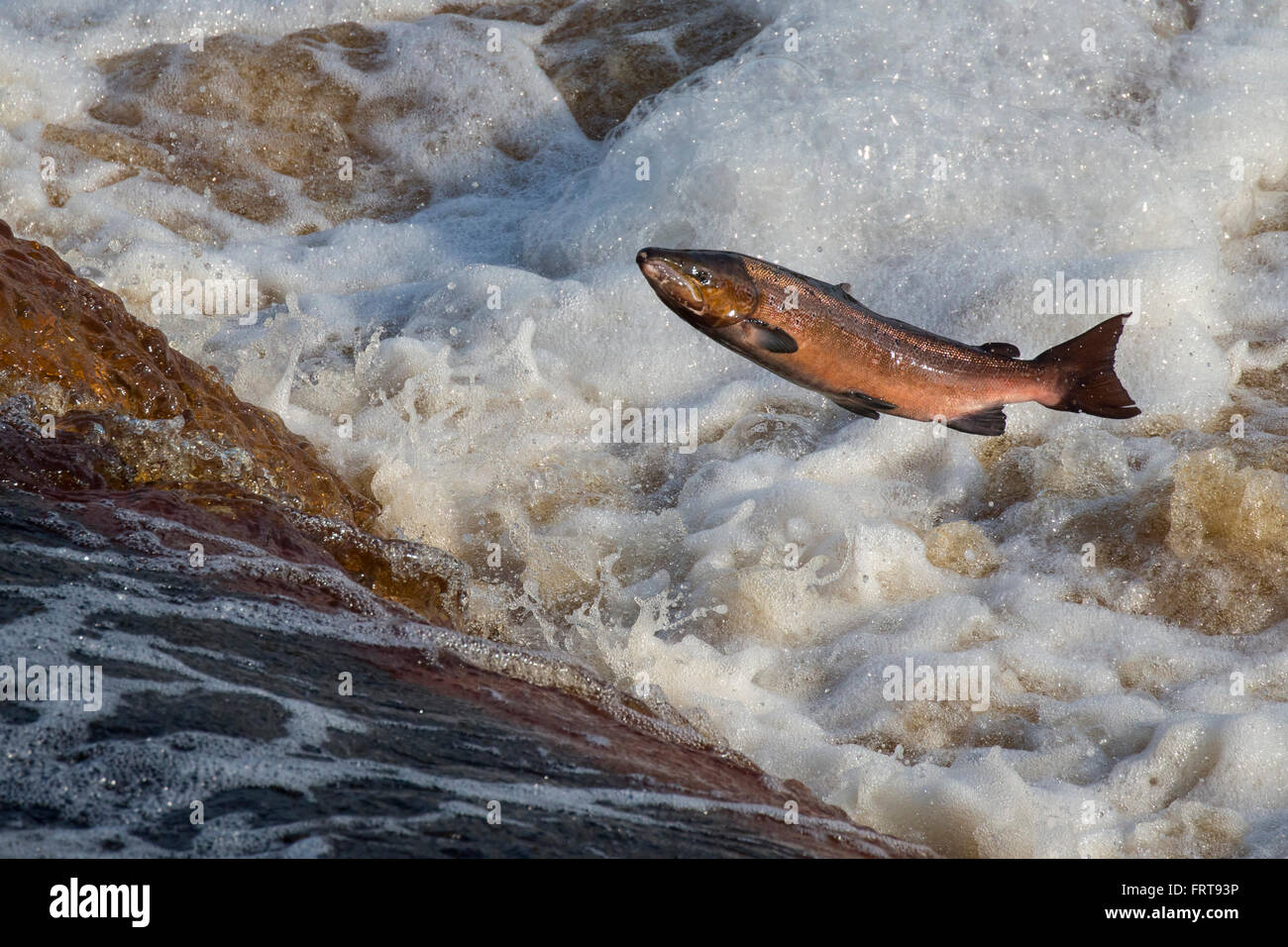 atlantic salmon salmo salar leaping weir on upstream