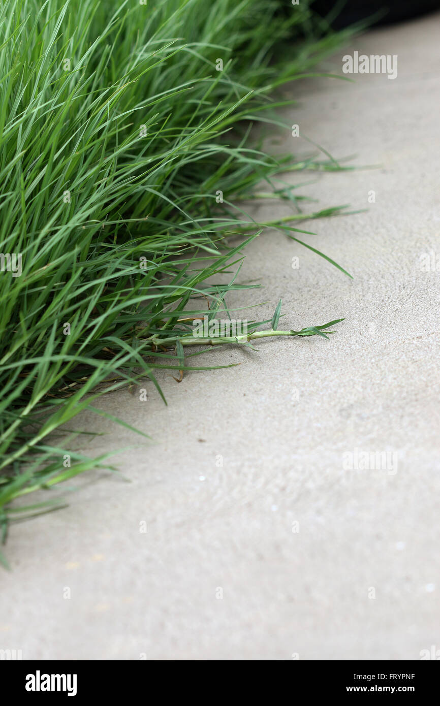 Grass Couch Overgrown Couch Grass Growing Over The Concrete Floor Stock Photo