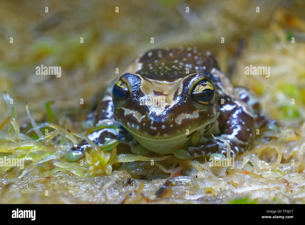 2669 Mission Golden-eyed Tree Frog (Amazon Milk Frog ...