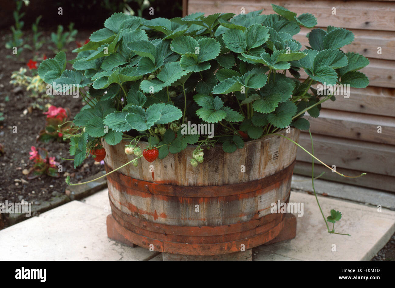 Close-up of strawberry plants in a wooden barrel Stock Photo ...