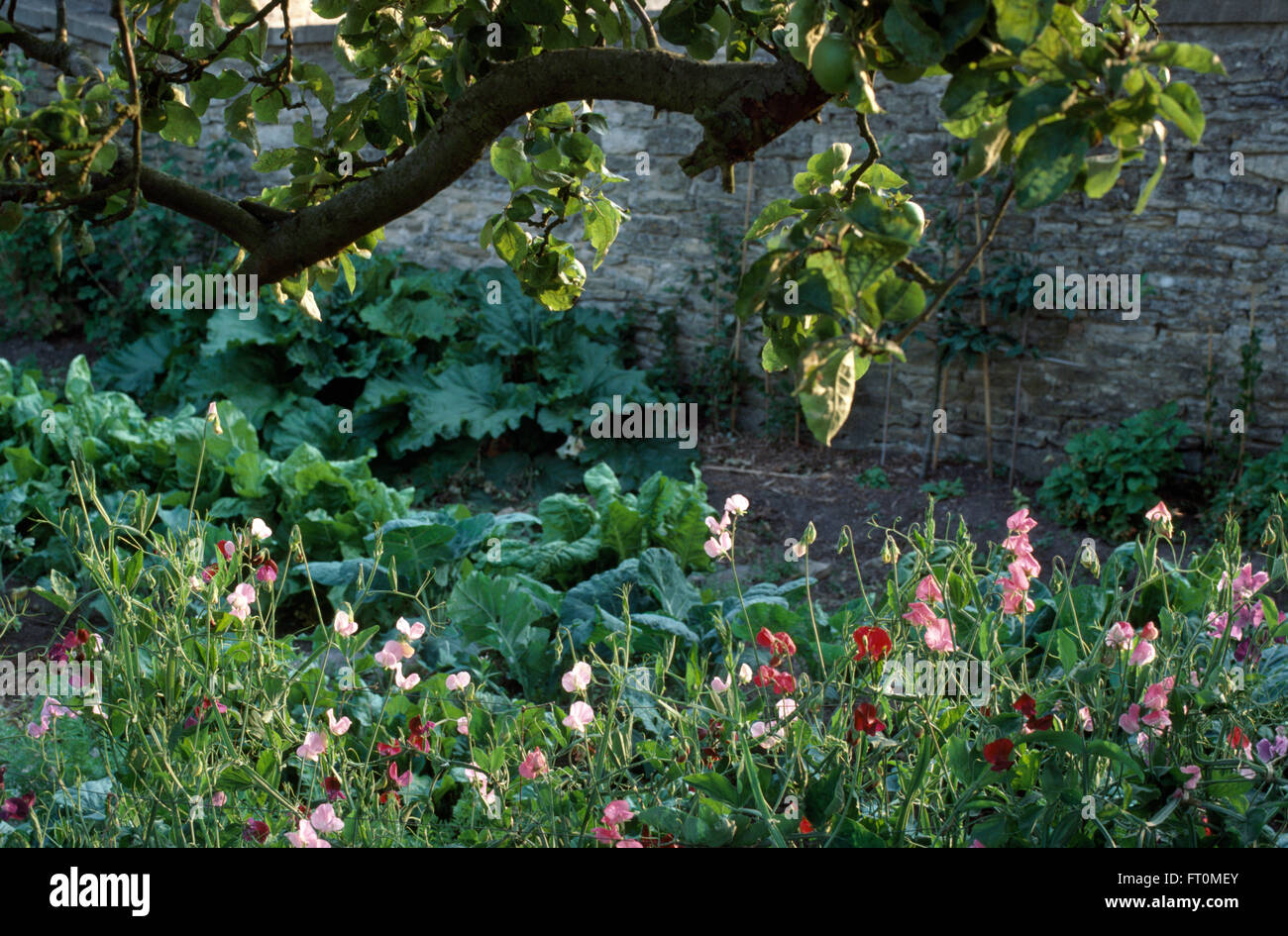 Country vegetable gardens - Sweet Peas Growing Below An Old Fruit Tree In A Country Vegetable Garden Stock Image