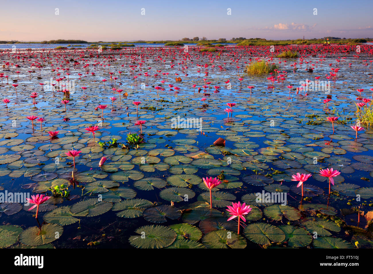 The Sea Of Red Lotus Lake Nong Harn Udon Thani Province