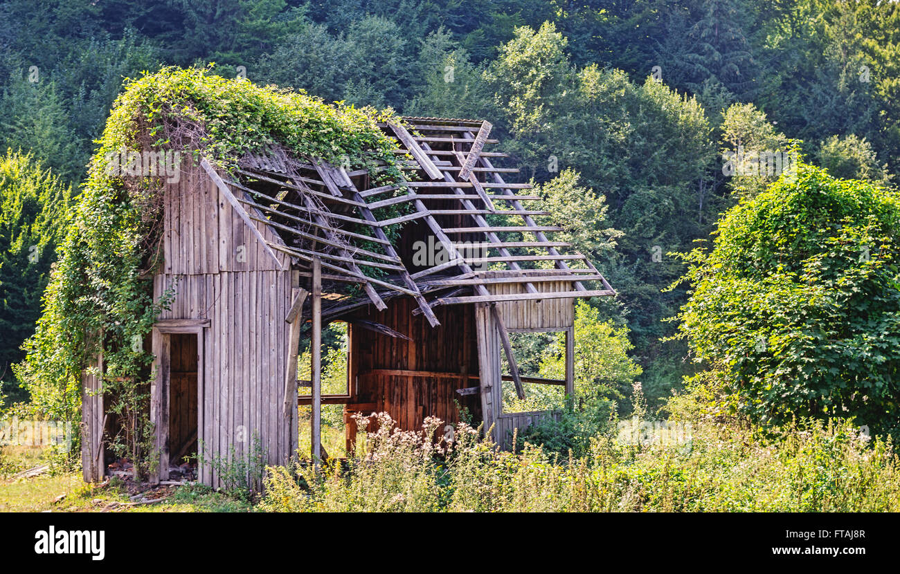 Abandoned wooden house in the forest half covered in ivy vines reclaimed by nature
