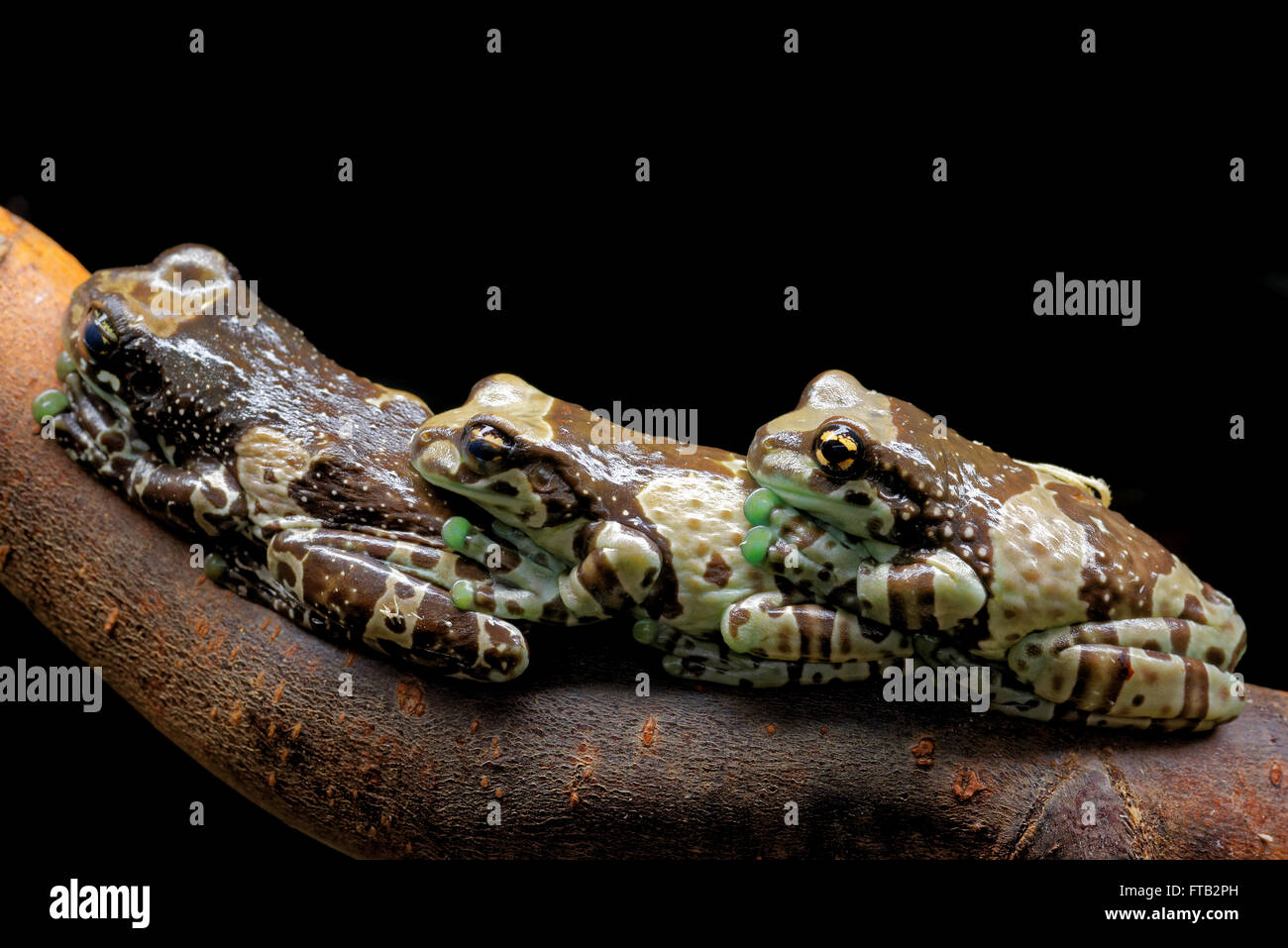 Mission Golden-eyed Tree Frogor Amazon Milk Frog (Trachycephalus ...