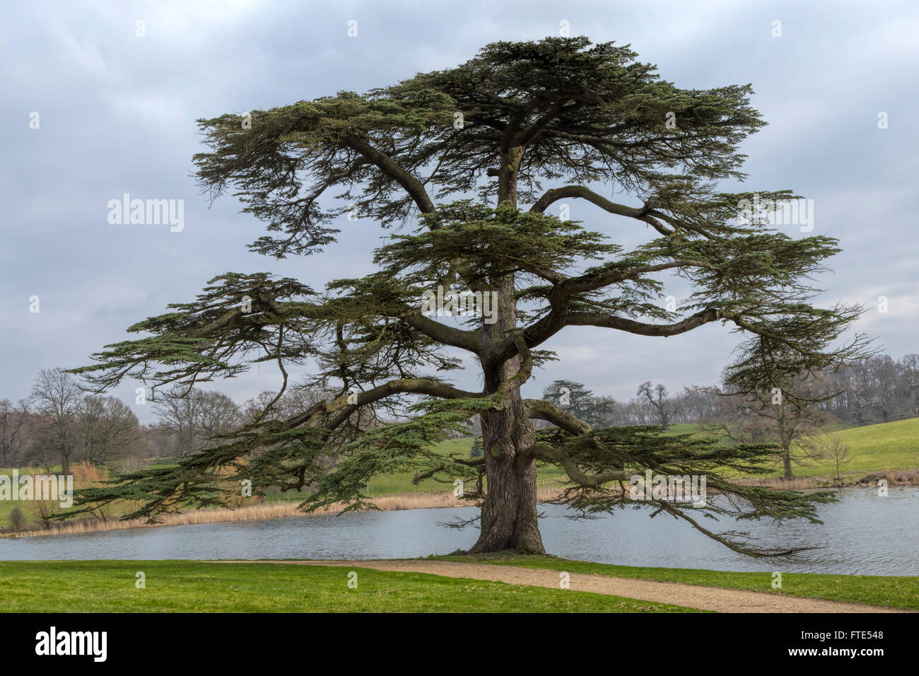 Pictures of cedar trees - View On The Lake With An Ancient Lebanese Cedar Tree In The Parkland At Burghley