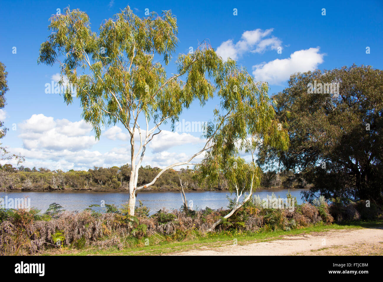 Landscapes along the south bank - Eucalypt Trees Growing Along The Banks Of The Collie River Near Australind South Western
