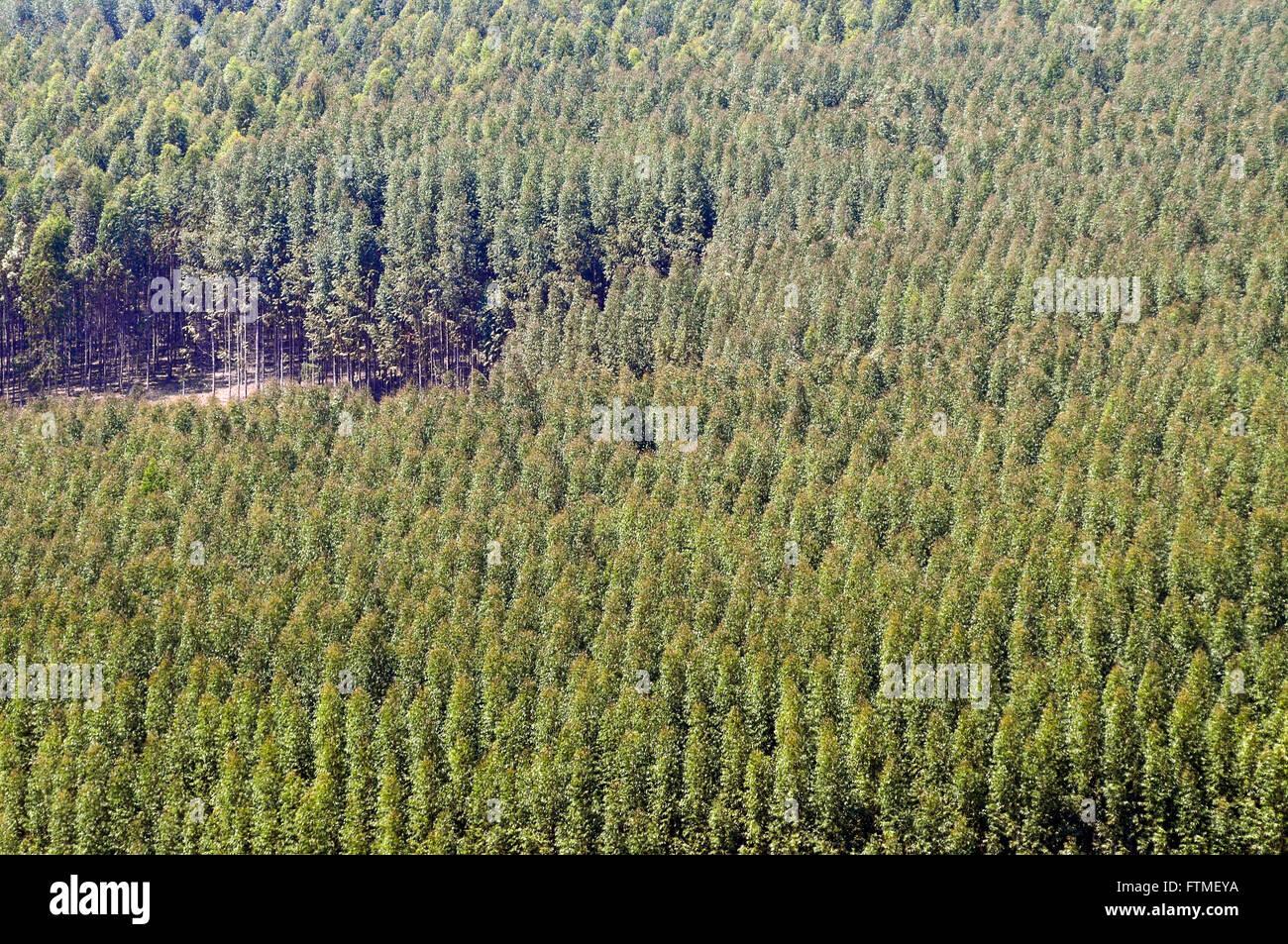Plantation Of Eucalyptus Stock Photo, Royalty Free Image
