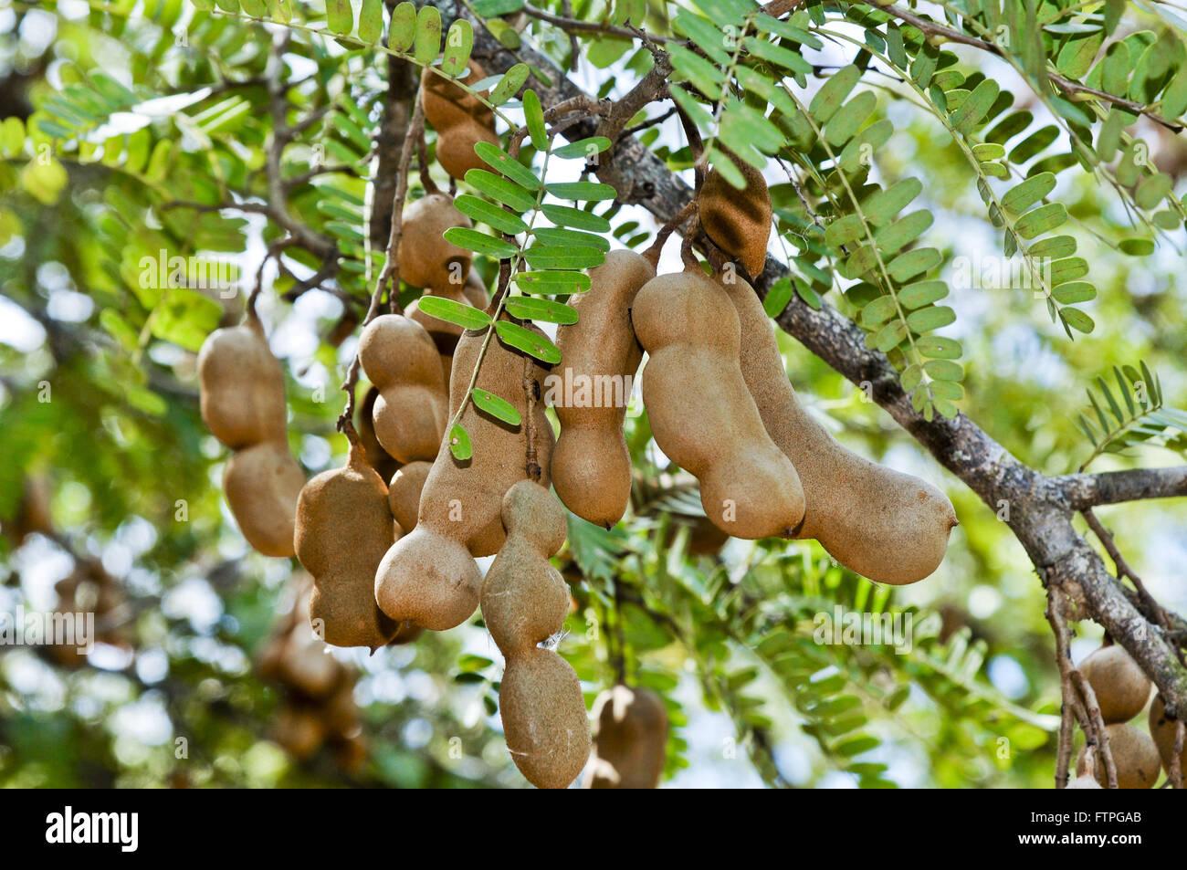 Tamarind tree fruit