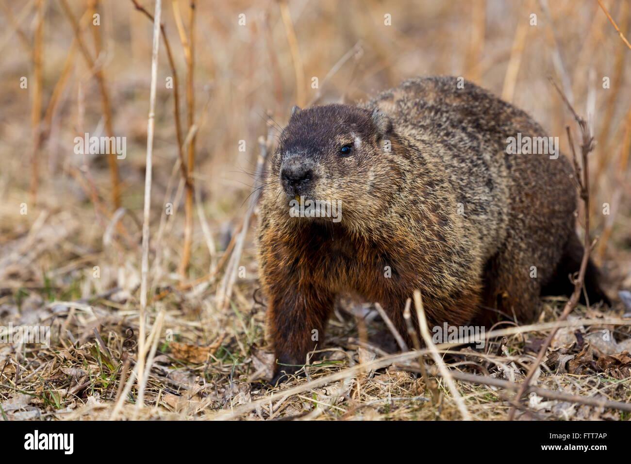 groundhog or woodchuck stock photo royalty free image 101336222