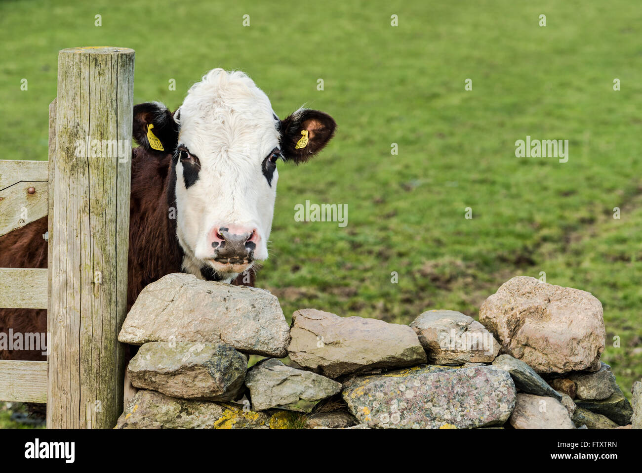 funny cow looking over wooden fence and stone wall stock photo