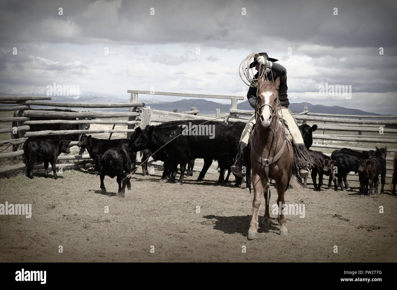 Branding cattle stock photos branding cattle stock images alamy american cowboy on horse dragging calf to branding fire black cattle behind him and his buycottarizona