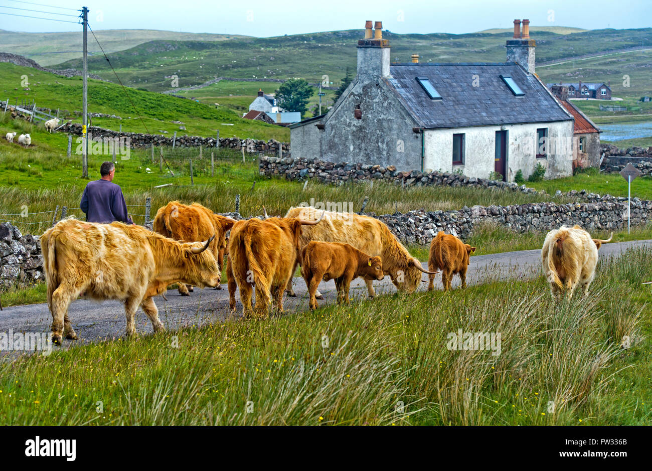 Highland Cattle (Bos taurus) or Kyloe, herd walking across ...