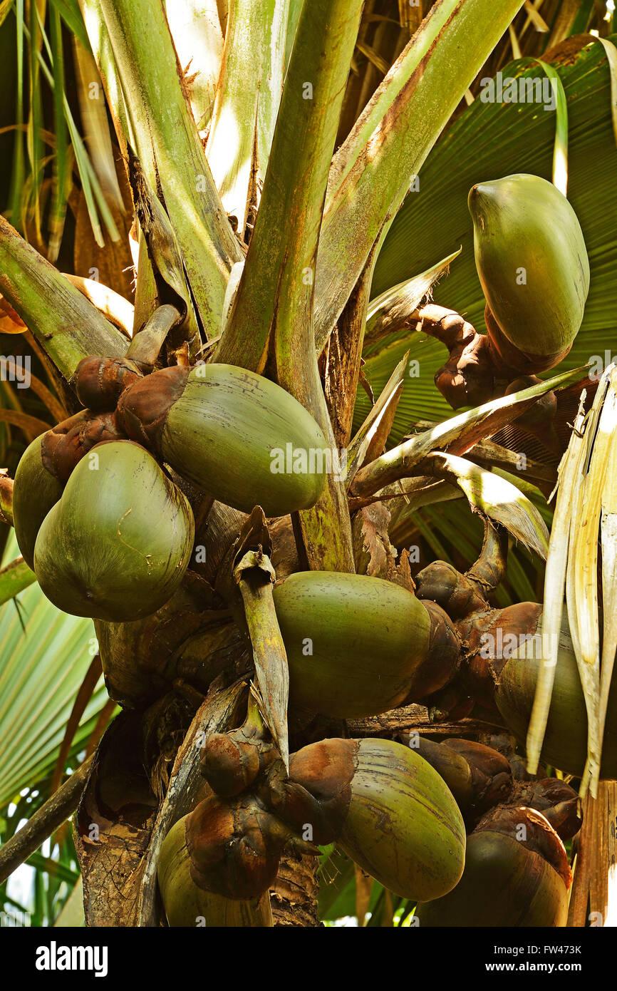 Coco de mer kokosnuss