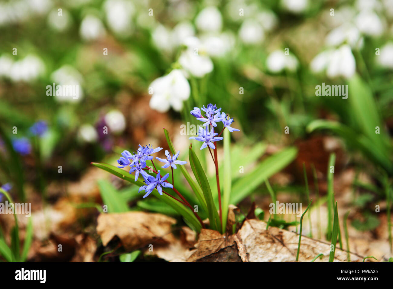 Two Leaf Squill First Flower Of Spring Stock Photo Royalty Free