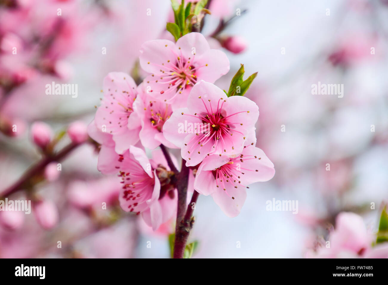 Spring Flowering Peach Beautiful Pink Blossoms