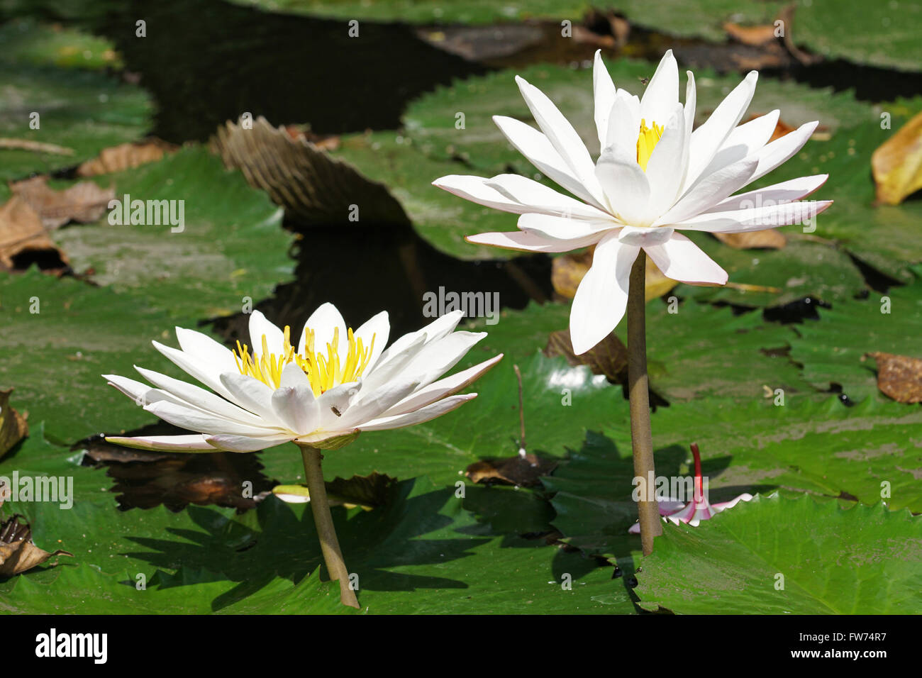 White water lily flowers of bali indonesia stock photo royalty stock photo white water lily flowers of bali indonesia dhlflorist Images