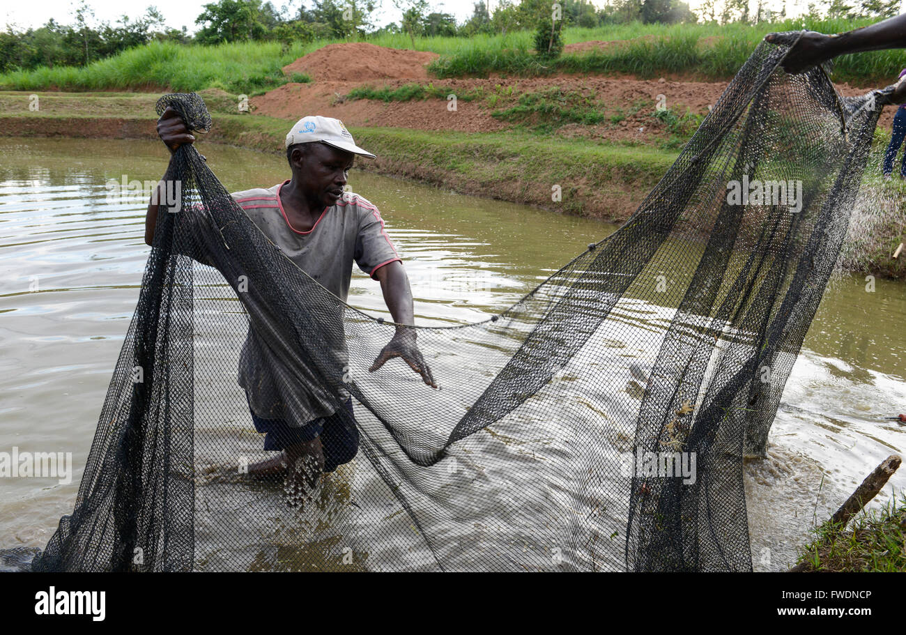 Kenya kisumu tilapia fish farming in pond man catch for Is tilapia a man made fish