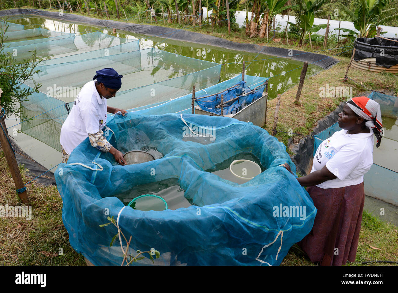 Kenya kisumu tilapia fish farming in pond women collect for Koi pond india