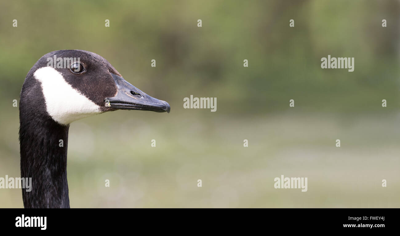 Close up portrait of a canadian goose stock photo royalty free close up portrait of a canadian goose biocorpaavc