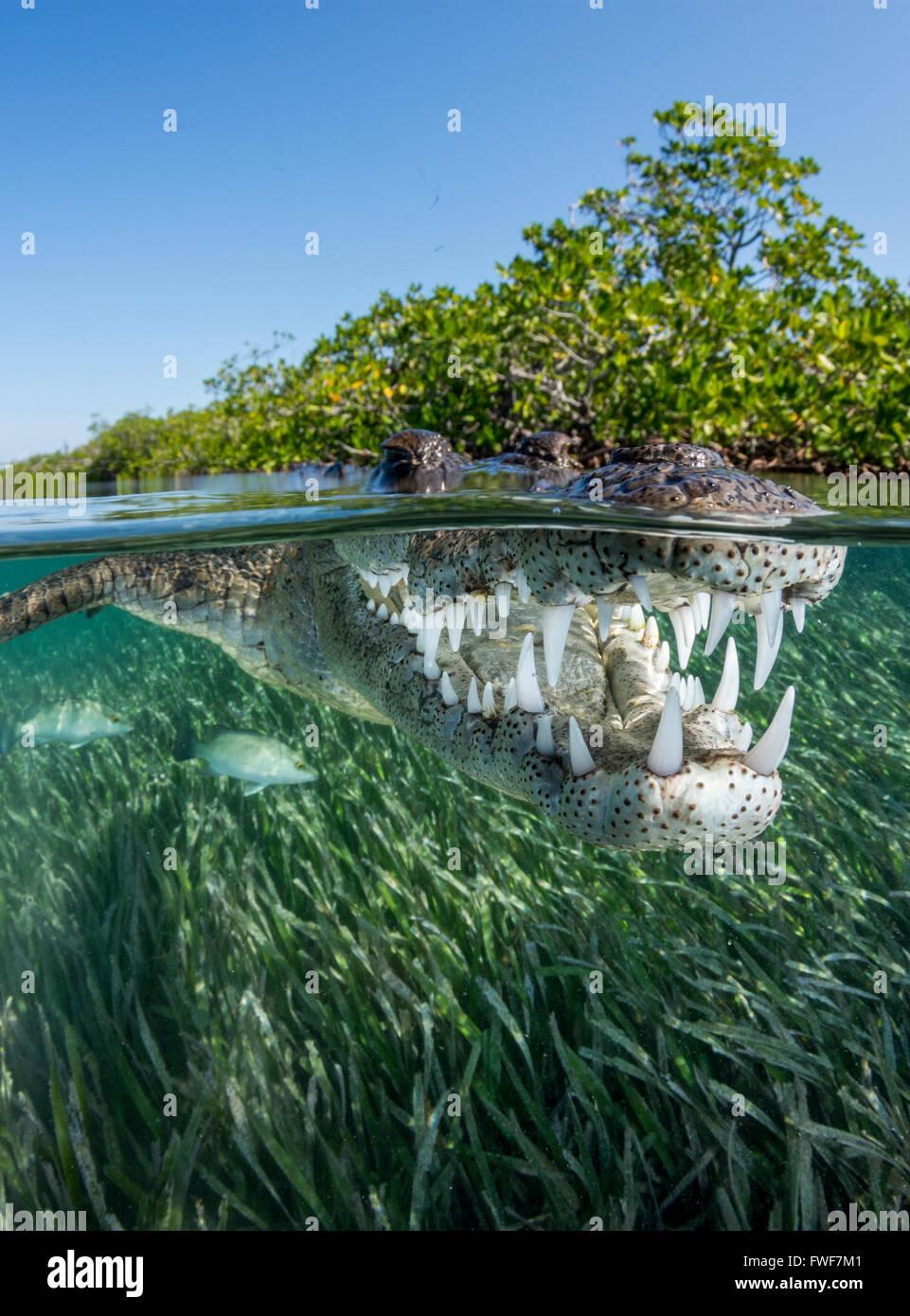 Saltwater crocodile crocodylus porosus jardines de la reina cuba stock photo 101753569 alamy - Jardines de la reina ...