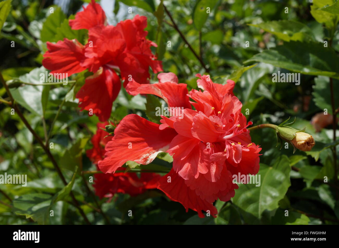 Double bloom red hibiscus flower stock photo royalty free image double bloom red hibiscus flower izmirmasajfo Image collections