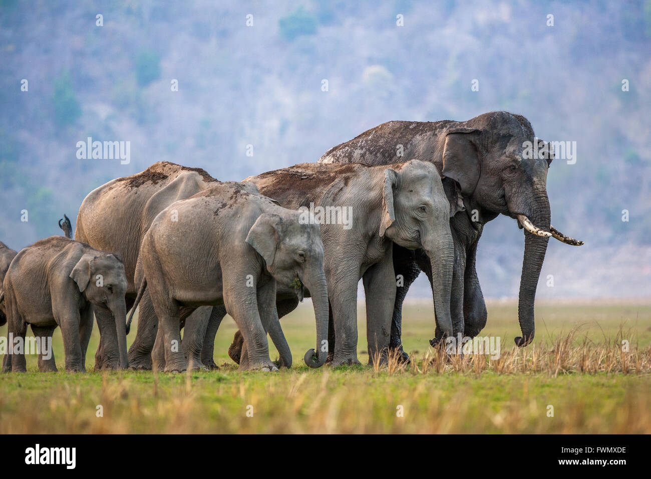 Asian wild Elephant family in the wild forest of Jim ...