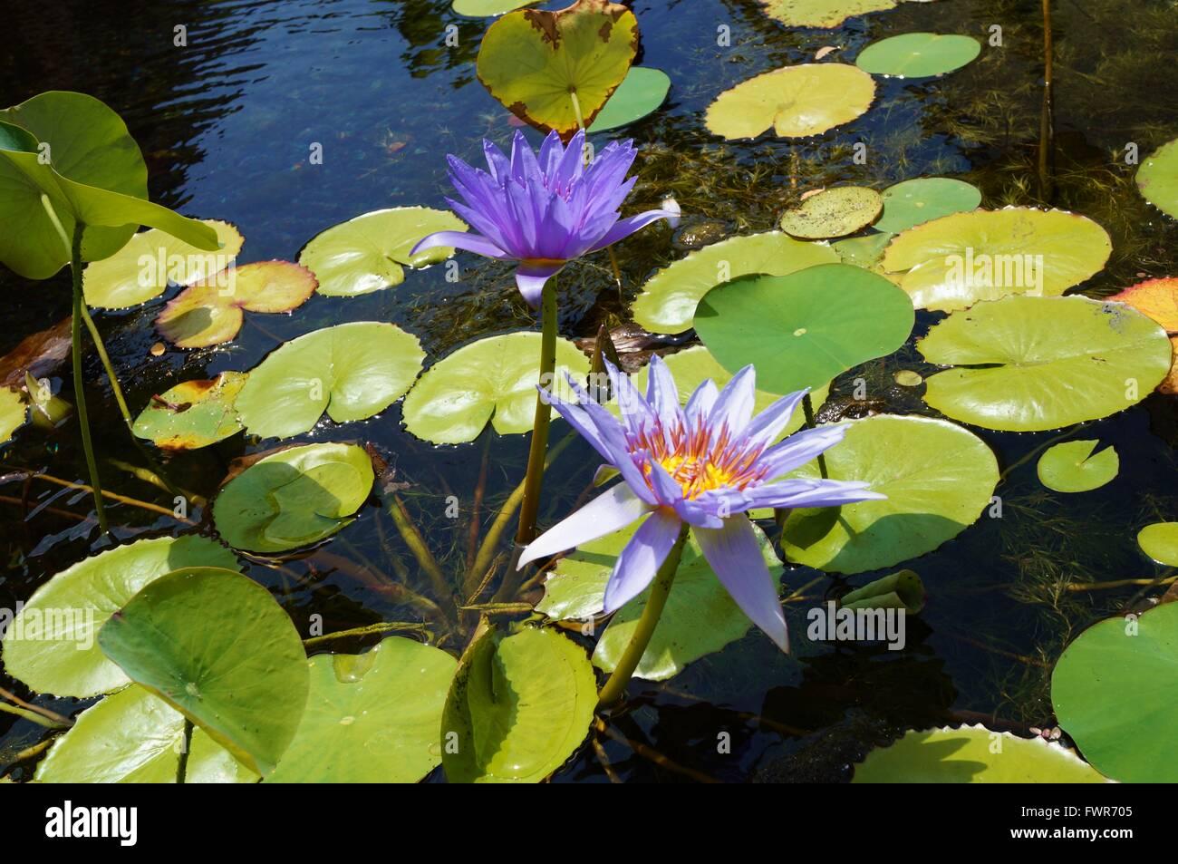 Purple aquatic waterlily lotus flowers in a pond in hawaii stock purple aquatic waterlily lotus flowers in a pond in hawaii izmirmasajfo