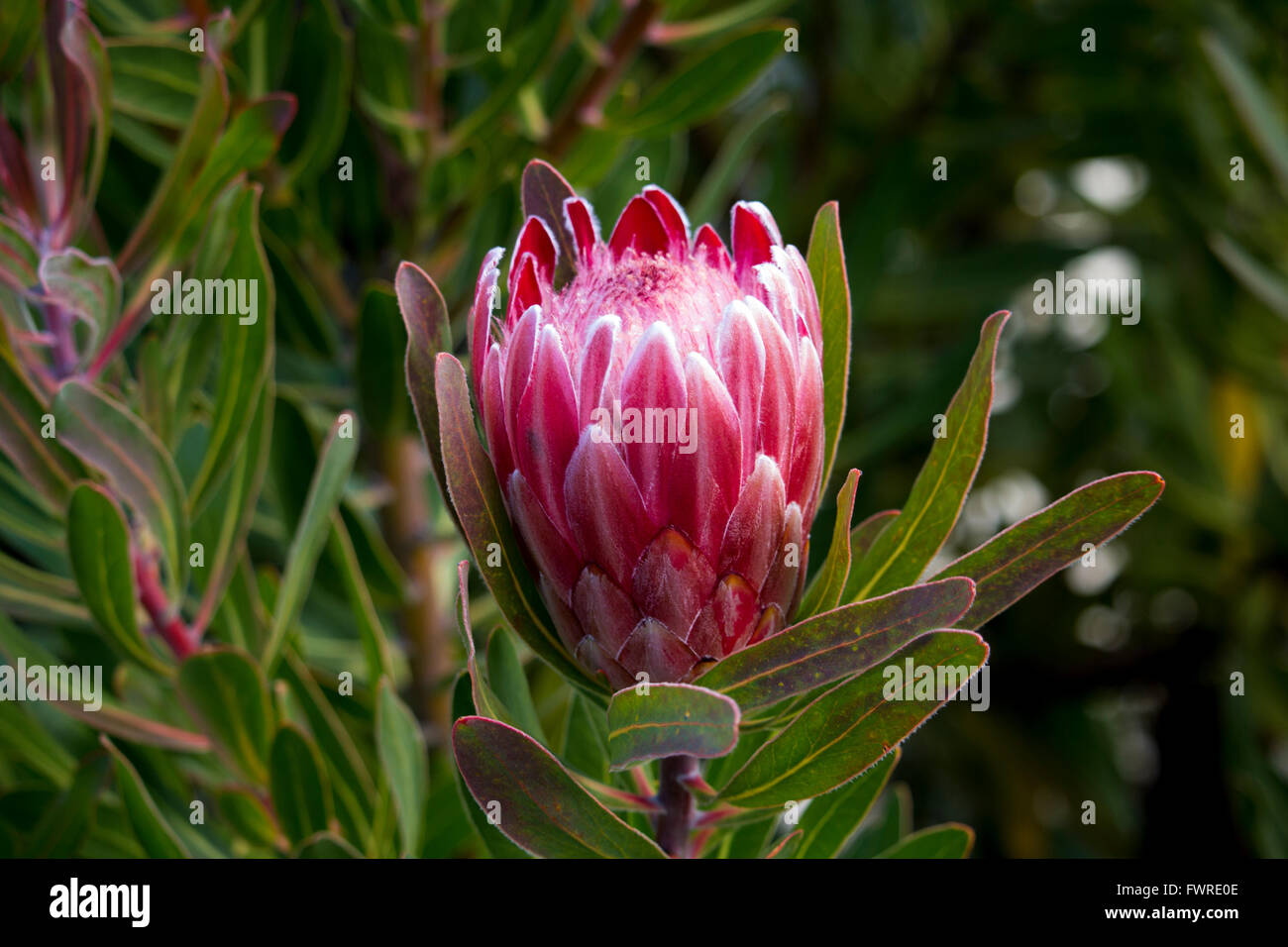 decorative pink flowers of protea blooming in winter attract bees