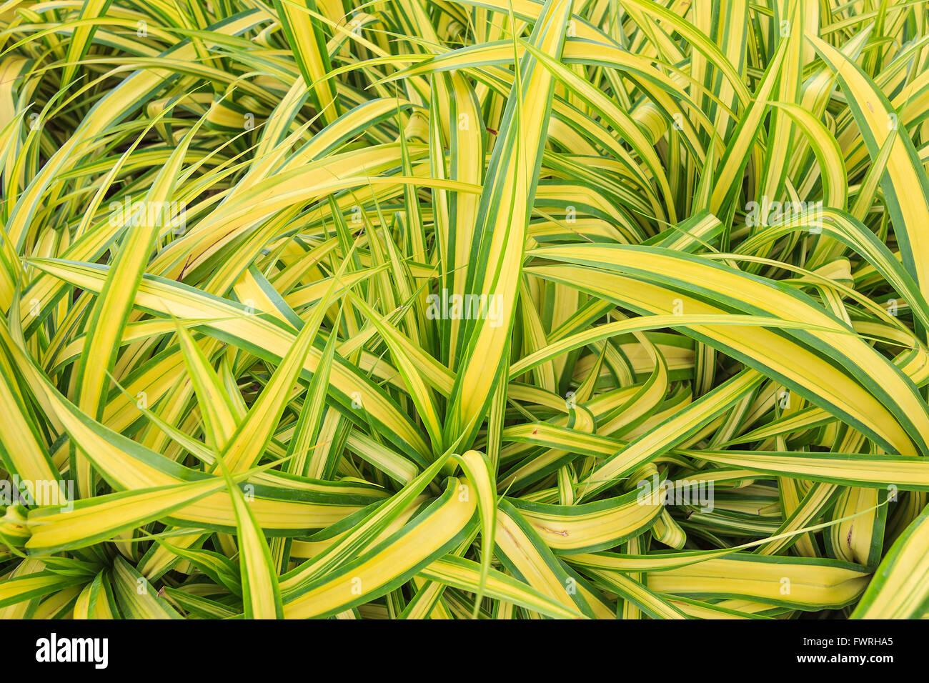 spider plant stock photos u0026 spider plant stock images alamy